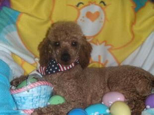 cavapoo puppies for sale in michigan